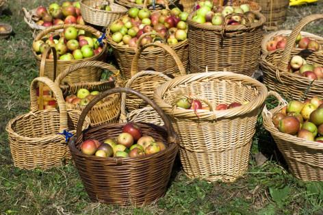 harvest-apples-by-shutterstock